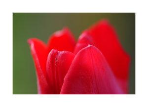 Tulpe 005 10 A3.jpg