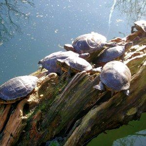 Schildkröten beim sonnen