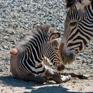 Zebramama mit Nachwuchs