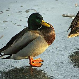 Ente auf den Eis
