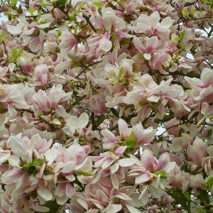 Blütenmeer-Magnolien