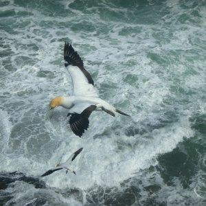 Gannets (Tölpel) in Neuseeland