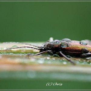 Käfer im Morgentau