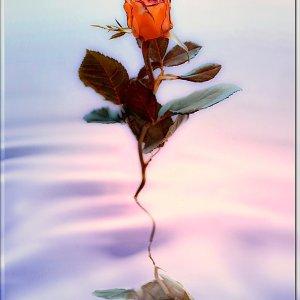 ... noch eine Rose inszeniert ....