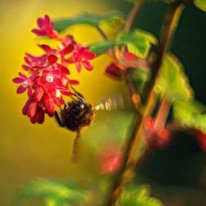 Bienenglückstreffer