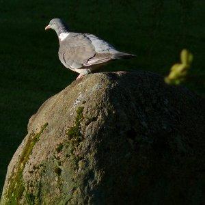 Taube in der Morgensonne