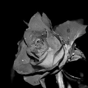 Blume der Verliebten