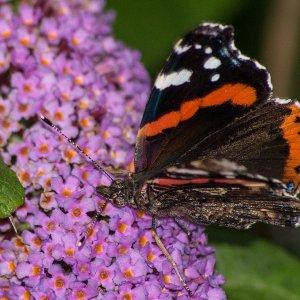 Schmetterling saugt Nektar
