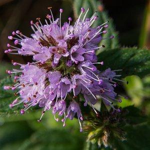 Die einzelnen Blüten sind etwa 2 mm groß.