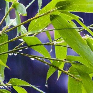 Bambus im Regen