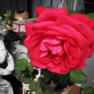 Rose_16.8.14.jpg