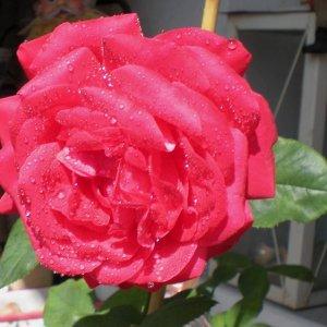 Rose mit Wassertropfen