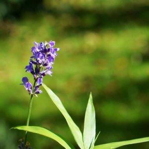 Lavendel Bild größer