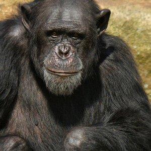 Schimpanse – freundliche Mimik…