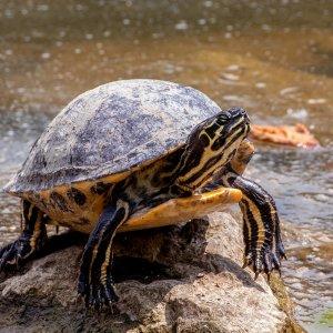 Schildkröten am Hengsteysee