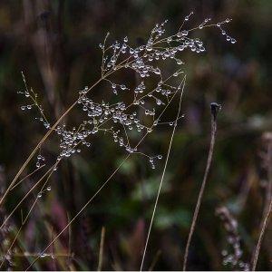 Gras mit Tautropfen.