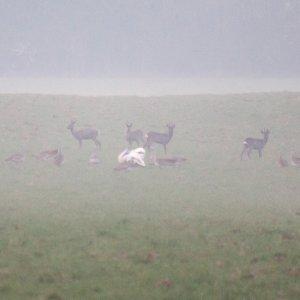 Großtrappen und Rehwild im Morgennebel