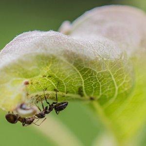 Ameise beim melken