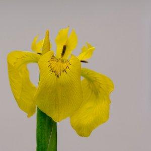 Gelbe Sumpfiris