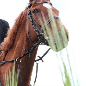 Pferde im Raps