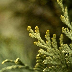 Alte Linsen in der Natur