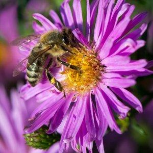 Bienchen bei naschen…