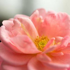 Rosa Rose. .....