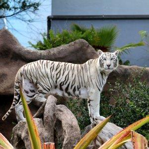 Tiger im Loropark auf Teneriffa