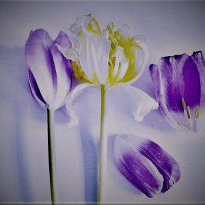 Tulpen Abstrakt