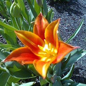 Blume die sich öffnet