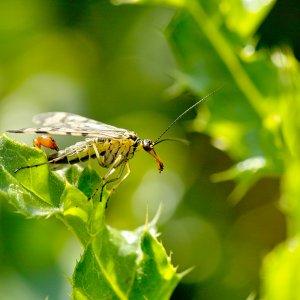 Die Skorpionfliege