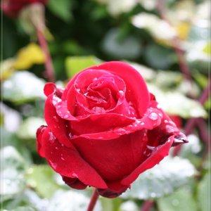 Rote Rosen ...
