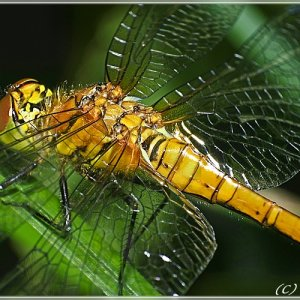 Libelle etwas näher betrachtet....