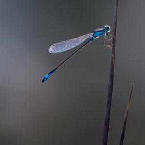 Libelle im abendlichen Gegenlicht