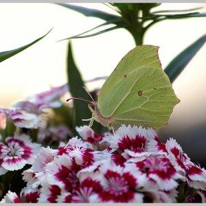 Na ja, halt Schmetterling....