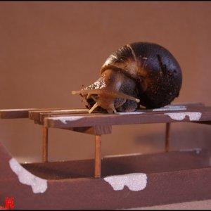 Suche Achatschnecken :Achatina fulica