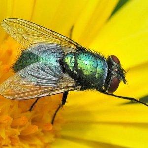 Fliege in grüngold