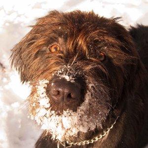 Benji genießt den Schnee