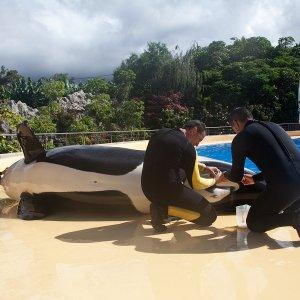 Milchentnahme bei einem Orca