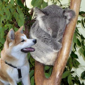 Kaito und Koala