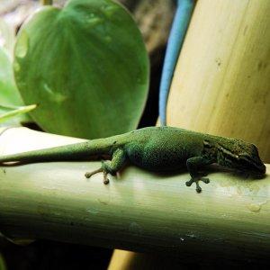 Lygodactylus williamsii