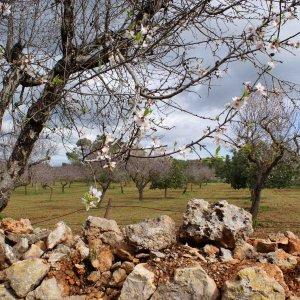 Mandelblüte auf Mallorca 1