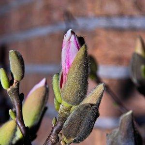 Aufgehende Magnolienblüte