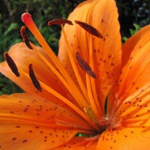 Nahaufnahme einer Feuerlilie