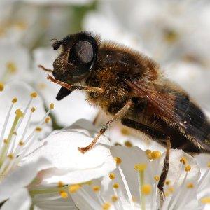 Pollenräuber