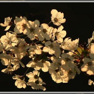 Kann ja bald keine Kirschlütenbilder mehr sehen....