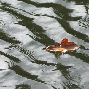 Herbsblatt auf dem Wasser