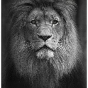 Löwenportrait SW