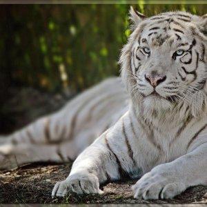 Weiße Tiger ...