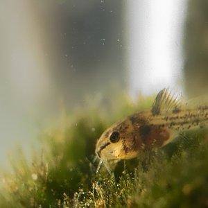 Kleiner Corydoras paleatus, 3 Wochen alt.
